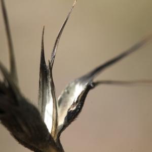 Aegilops lorentii var. velutina (Zhuk.) Hammer (Égilope à grosses arrêtes)