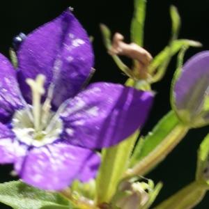 Photographie n°245160 du taxon Legousia speculum-veneris (L.) Chaix
