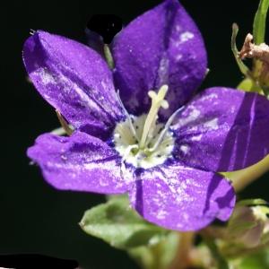 Legousia speculum-veneris (L.) Chaix (Miroir-de-Vénus)