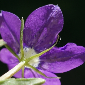 Photographie n°245163 du taxon Legousia speculum-veneris (L.) Chaix