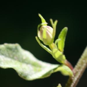 Photographie n°245168 du taxon Legousia speculum-veneris (L.) Chaix