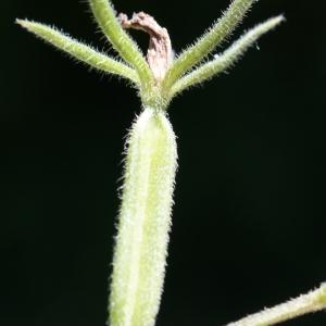 Photographie n°245174 du taxon Legousia speculum-veneris (L.) Chaix