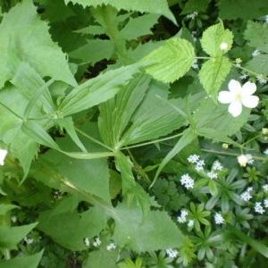 Photographie n°245208 du taxon Ranunculus aconitifolius L. [1753]