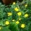 MyrrhMaid - Ranunculus paludosus Poir.