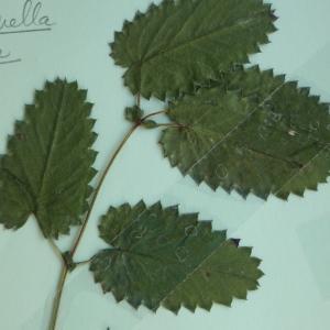Photographie n°245286 du taxon Pimpinella major (L.) Huds. [1762]