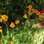 martine - Tolpis staticifolia (All.) Sch.Bip.