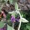 - Solanum dulcamara L. [1753]