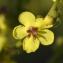 Patrice GIRAUDEAU - Verbascum sinuatum L.
