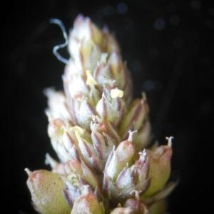 Amaranthus deflexus L. (Amarante couchée)