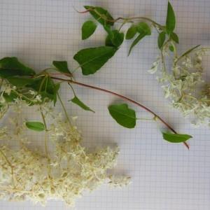 Fallopia baldschuanica (Regel) Holub (Renouée du Turkestan)