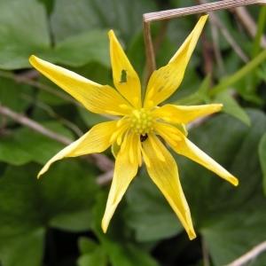 Photographie n°245454 du taxon Ficaria verna subsp. verna