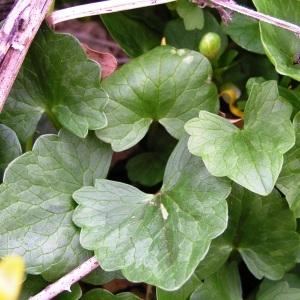 Photographie n°245455 du taxon Ficaria verna subsp. verna