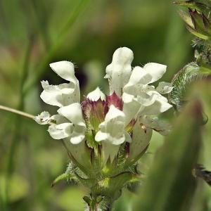 Prunella laciniata (L.) L. (Brunelle blanche)