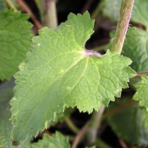 Photographie n°245490 du taxon Lunaria annua L.