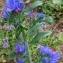 YANNICK DURAND - Echium vulgare L.