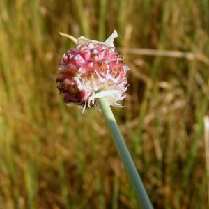 Photographie n°245591 du taxon Allium vineale L.
