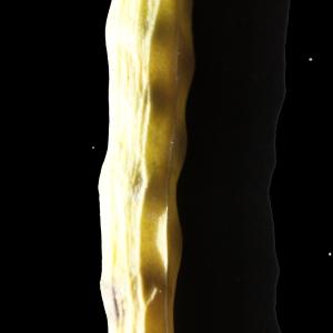 Photographie n°245601 du taxon Brassica napus var. oleifera (Moench) Delile