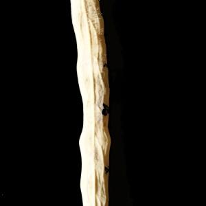 Photographie n°245602 du taxon Brassica napus var. oleifera (Moench) Delile