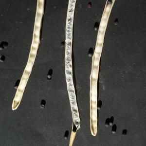 Photographie n°245603 du taxon Brassica napus var. oleifera (Moench) Delile