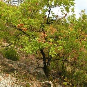 Photographie n°245626 du taxon Quercus pubescens subsp. pubescens