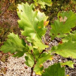 Photographie n°245627 du taxon Quercus pubescens subsp. pubescens