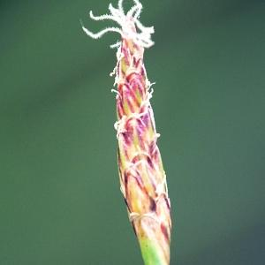 Eleocharis multicaulis (Sm.) Desv. (Scirpe à nombreuses tiges)