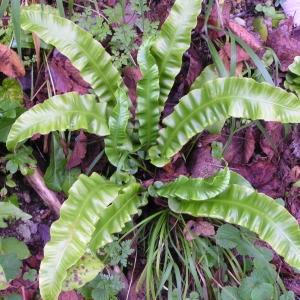 Photographie n°245689 du taxon Asplenium scolopendrium subsp. scolopendrium