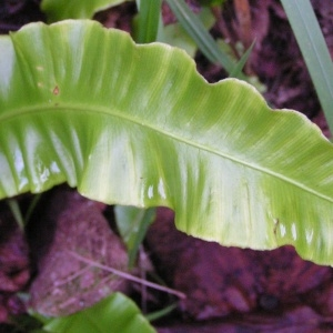 Photographie n°245690 du taxon Asplenium scolopendrium subsp. scolopendrium