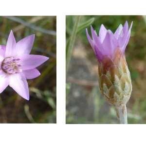 Photographie n°245701 du taxon Xeranthemum cylindraceum Sm. [1813]
