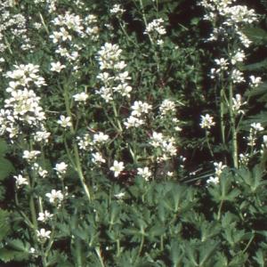 Photographie n°245721 du taxon Saxifraga geranioides L. [1755]