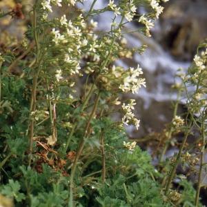 Photographie n°245723 du taxon Saxifraga geranioides L. [1755]