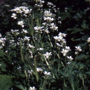 Photographie n°245724 du taxon Saxifraga geranioides L. [1755]