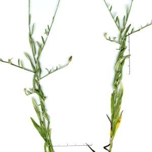 Photographie n°245745 du taxon Xeranthemum cylindraceum Sm. [1813]