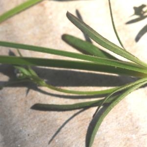 Photographie n°245764 du taxon Galium palustre L. [1753]