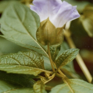 Photographie n°245862 du taxon Nicandra physalodes (L.) Gaertn. [1791]