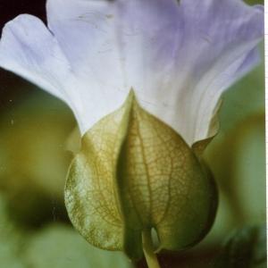 Nicandra physalodes (L.) Gaertn. (Nicandre faux coqueret)
