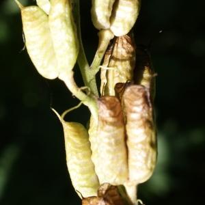 Photographie n°245878 du taxon Aconitum lycoctonum L. [1753]