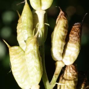 Photographie n°245879 du taxon Aconitum lycoctonum L. [1753]