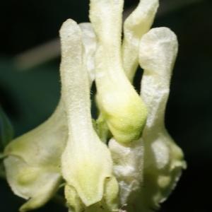 Photographie n°245881 du taxon Aconitum lycoctonum L. [1753]