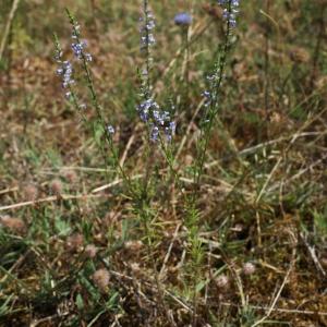 Photographie n°245889 du taxon Anarrhinum bellidifolium (L.) Willd.