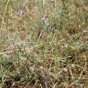 Photographie n°245890 du taxon Anarrhinum bellidifolium (L.) Willd.