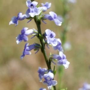 Photographie n°245891 du taxon Anarrhinum bellidifolium (L.) Willd.