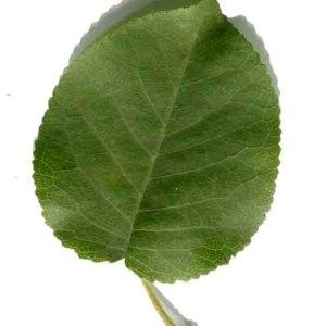 Photographie n°246042 du taxon Prunus mahaleb L.