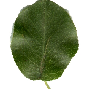 Photographie n°246043 du taxon Prunus mahaleb L.