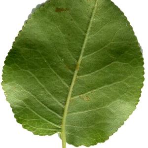 Photographie n°246044 du taxon Prunus mahaleb L.