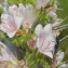 Marie  Portas - Echium vulgare L.