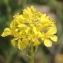 Marie  Portas - Brassica nigra (L.) W.D.J.Koch