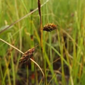 Photographie n°246221 du taxon Carex limosa L. [1753]