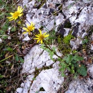 Photographie n°246263 du taxon Jacobaea vulgaris subsp. vulgaris