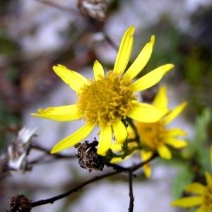 Photographie n°246264 du taxon Jacobaea vulgaris subsp. vulgaris